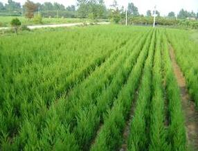河北苗木基地綠化樹苗