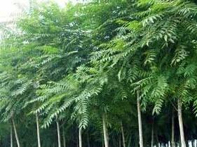 千頭椿樹苗丨河北苗木基地