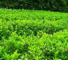 【资讯】河北苗木基地养护工作 绿化环保簇生保定苗木基地