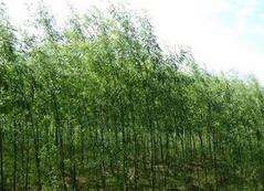 【盘点】保定苗木基地发展前景 保定速生柳受欢迎的原因