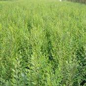 【图片】保定苗木基地教你修剪苗木 河北苗木基地谈苗木的养护期
