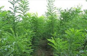 【新闻】绿化带动保定苗木基地 速生柳未来市场如何
