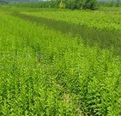 河北苗木种植基地