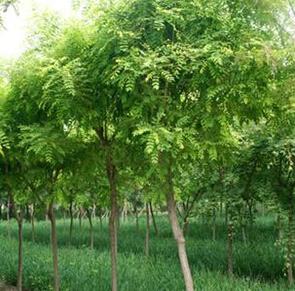 【原创】保定苗木基地的发展 保定苗木基地为绿化做贡献
