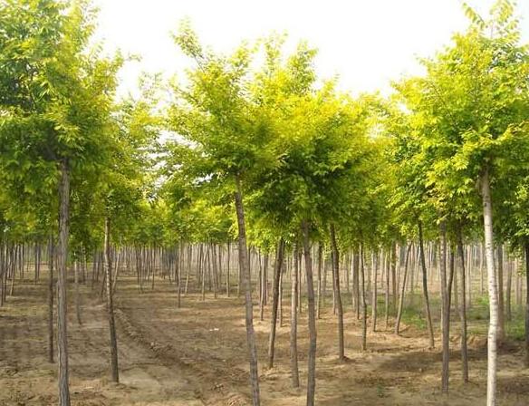 保定金叶榆种植基地
