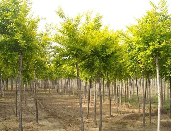 保定金葉榆種植基地