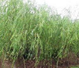 【多图】保定金叶榆告诉你金叶榆的特征 苗木基地的管理方法