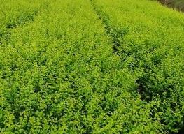 河北速生柳种植基地