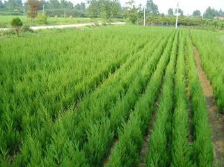 【组图】河北苗木基地谈苗木的养护期 保定速生柳供应