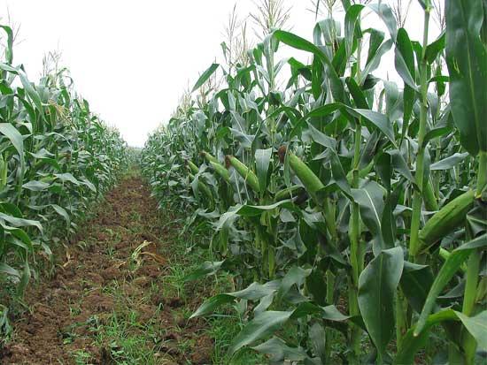 青贮玉米饲料价格