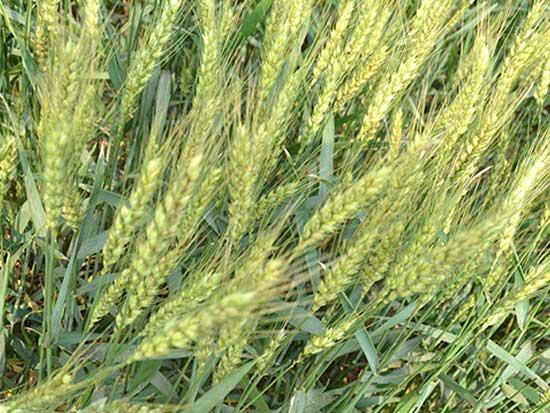 小麦全株青贮饲料