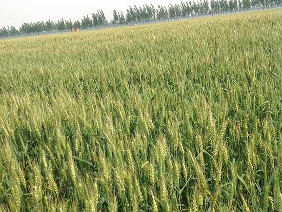 全株小麦青贮作用