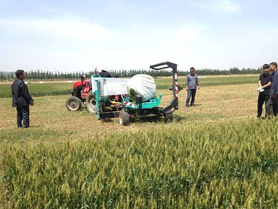 全株小麦生产厂家