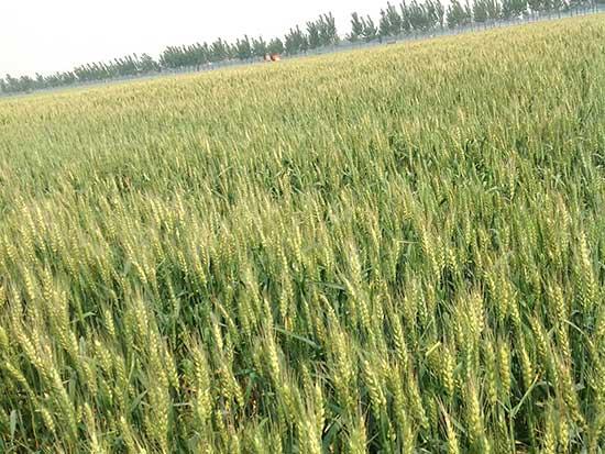 小麦秸秆饲料订购