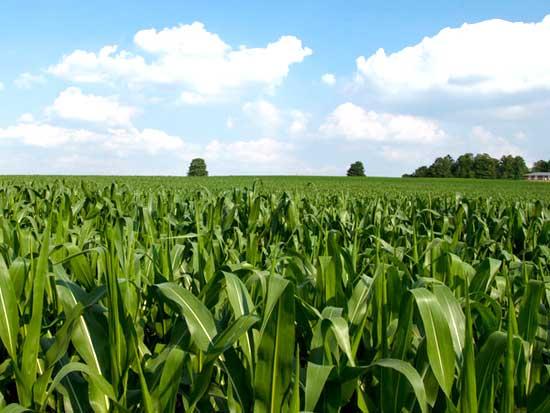 全株玉米价格