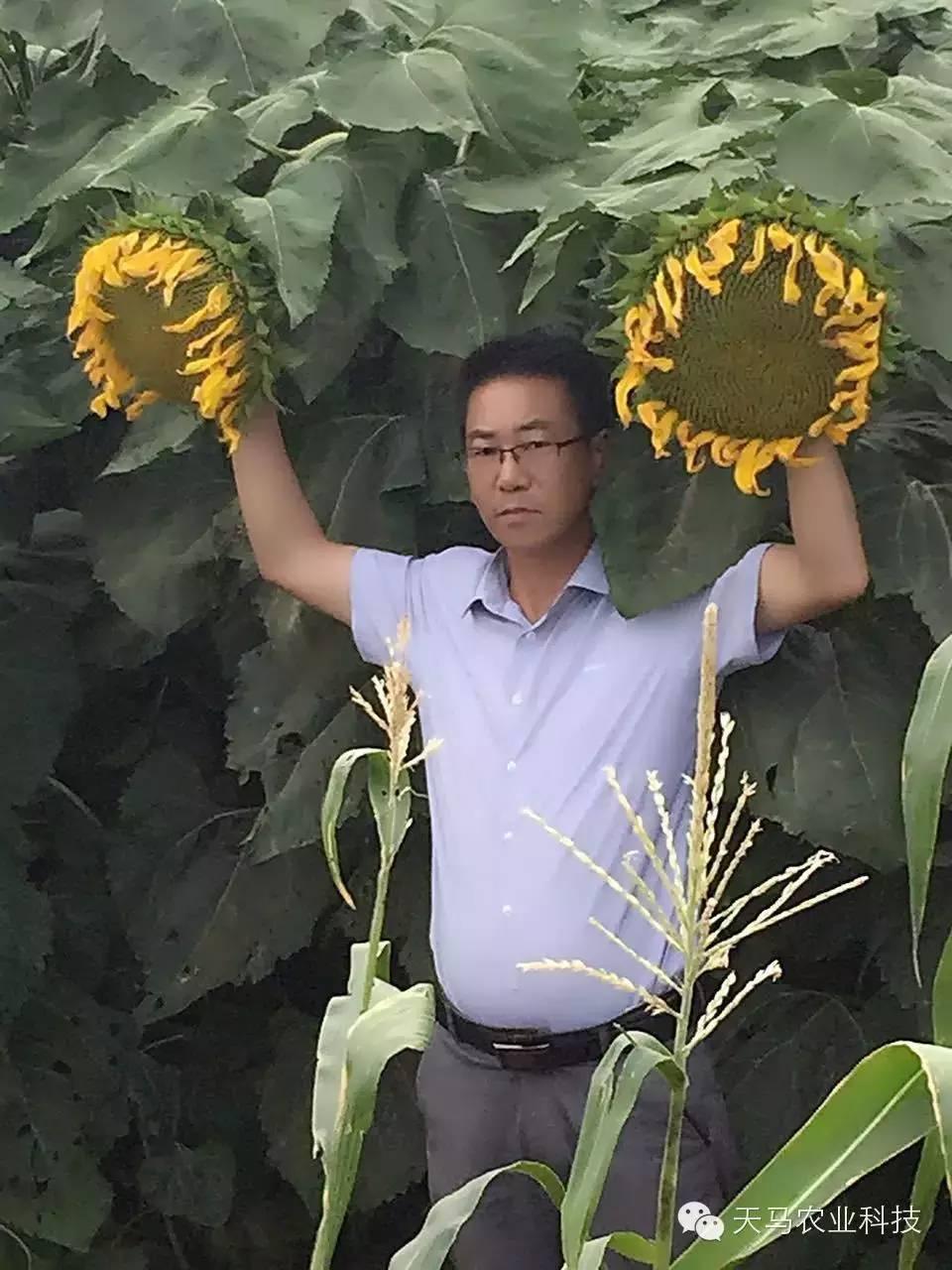 【分享】向日葵的四个生育期 向日葵种植要合理安排时间