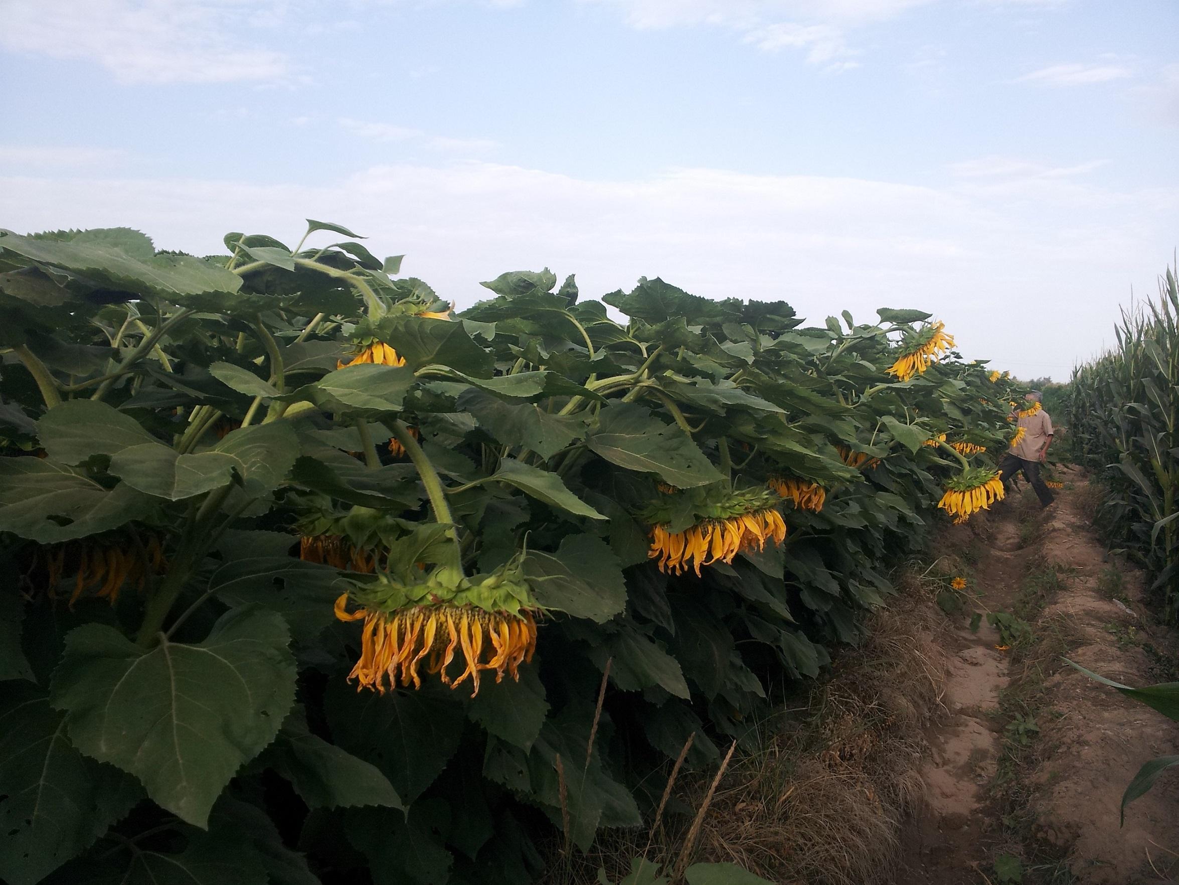 T5069食葵