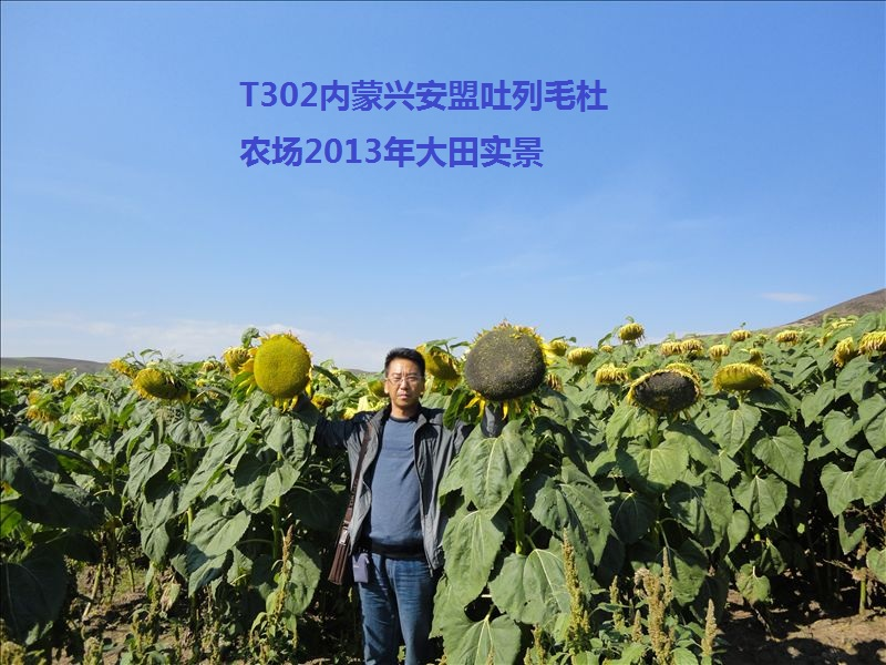 【厂家】怎么选择向日葵品种? 向日葵种植规模有上升趋势