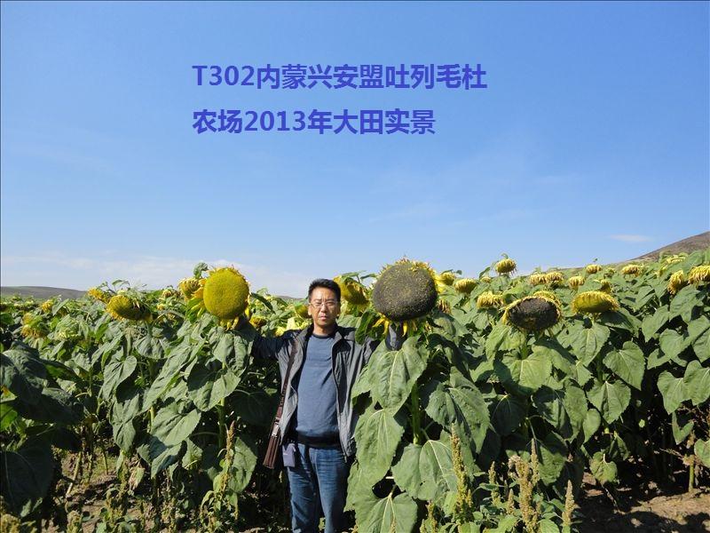 【专家】向日葵种子怎么处理? 自己种向日葵的方法和步骤你知道吗?