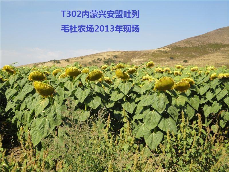 【组图】向日葵适合在什么时间播种? 向日葵种子需要怎么样的生长环境?