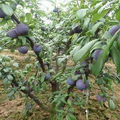 【精华】向日葵品种选择及种子处理 葵花的主要特性