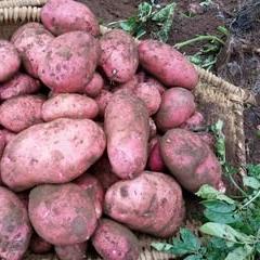 青薯168