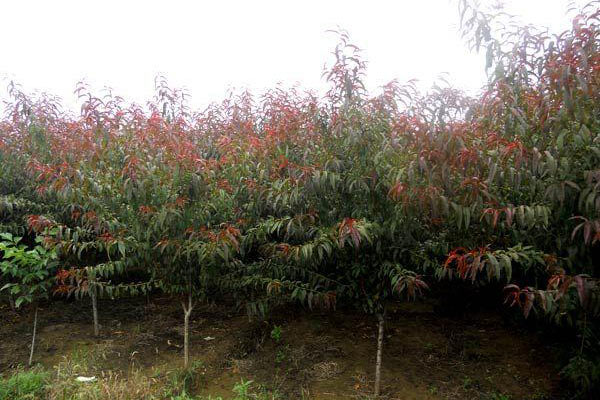 红叶碧桃苗圃