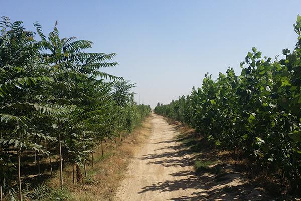 青竹复叶槭基地