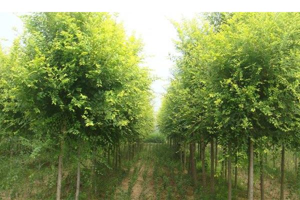 供应丝棉木树苗