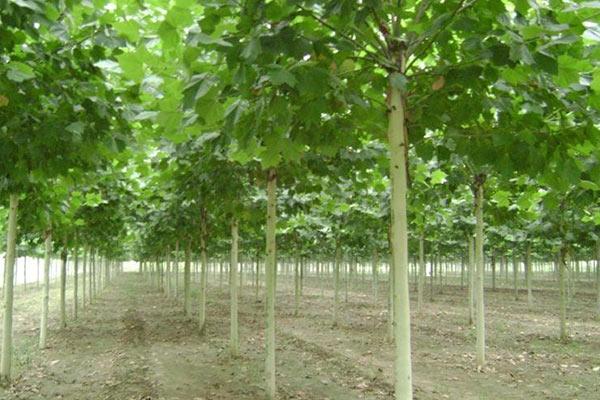 法桐树种植