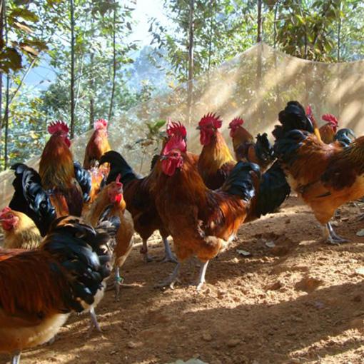 全国优质土杂鸡