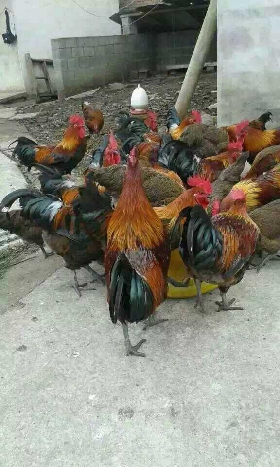 云南本地纯土鸡