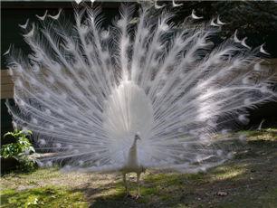 成都白孔雀养殖