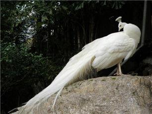 白孔雀养殖