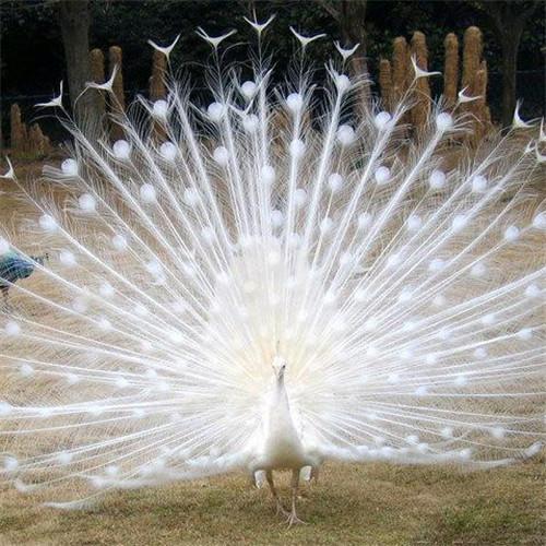 观赏白孔雀养殖基地