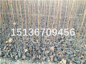 梨树苗品种