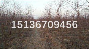桃树苗品种