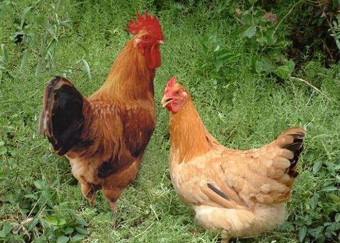 衡水柴鸡苗噪音在柴鸡养殖中的重要影响 柴鸡苗的动作鉴别法