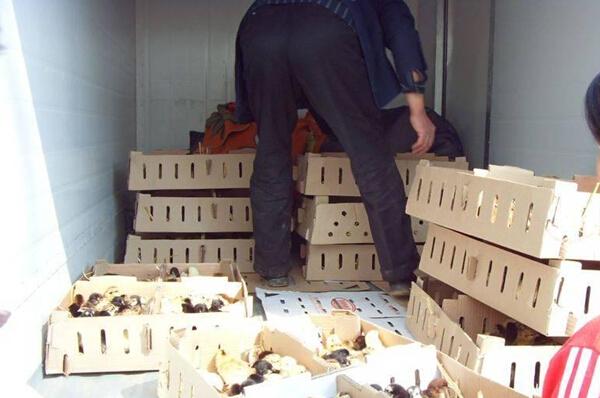 【图解】柴鸡养殖育雏期怎么做 河北柴鸡苗放养场地建设