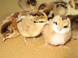 石家庄哪里有柴鸡苗为什么噪音会造成柴鸡死亡 土鸡苗鸡舍的温度控制