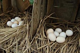 哪里有柴鸡蛋
