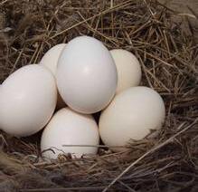 【汇总】柴鸡苗的育雏方式 河北柴鸡苗养殖场地搭建