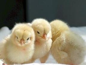 石家庄育雏鸡