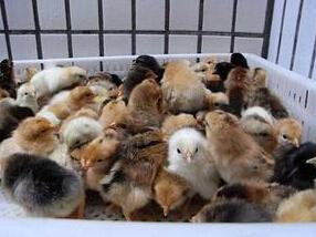 【图解】石家庄柴鸡苗成长之水质 河北柴鸡苗养殖要注意免疫问题