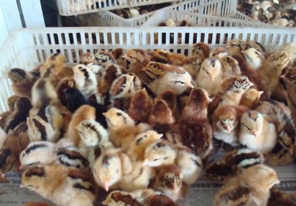 【厂家】柴鸡苗养殖的温度和湿度 想知道柴鸡苗价格?看这里