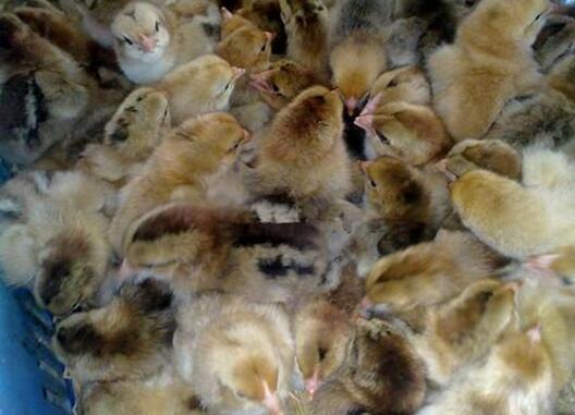 柴鸡苗价格有害气体影响柴鸡苗成长 柴鸡养殖育雏期怎么做