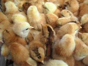 【厂家】河北柴鸡苗养殖要注意免疫 如何鉴别柴鸡苗