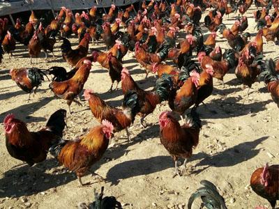 【知识】柴鸡养殖的饲料问题 柴鸡苗的养殖技巧