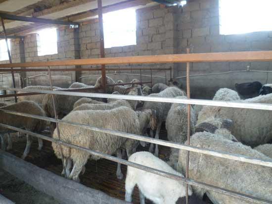 羊病防治策略