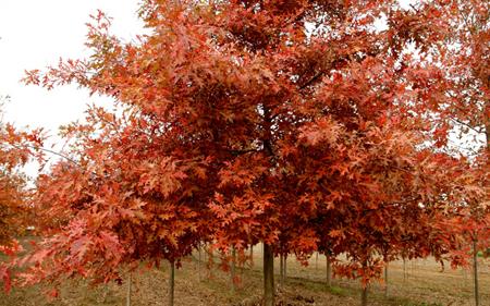 【优选】分析北美红栎被忽视的原因 北美红枫适合什么天气